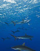 RM0883-Dv. Silky Sharks (Carcharhinus falciformis), dozens gathered together to feed on small fish in baitball. (Bait likely includes Green Jacks, Caranx caballus, and Scad Mackerel, Decapterus macarellus). Baja, Mexico, Pacific Ocean. Cropped to vertical from native horizontal format.<br /> Photo Copyright &copy; Brandon Cole. All rights reserved worldwide.  www.brandoncole.com