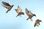 Starling, Sturnus Vulgaris, UK, in flight, flying, high speed photographic technique, Digital Composite, garden, blue sky background, cut out