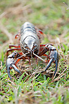 Columbia Ranch, Brazoria County, Damon, Texas; a large, red crawfish walking across a field of grass, carrying eggs under it's tail