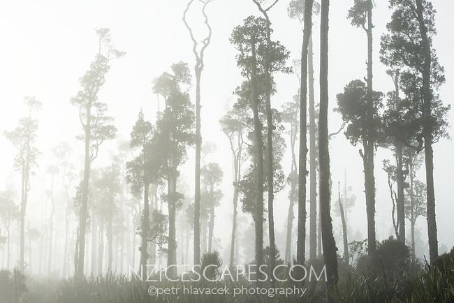 Misty dawn at Lake Wahapo with native kahikatea forest, West Coast, Westland Tai Poutini National Park, UNESCO World Heritage Area, South Westland, New Zealand, NZ