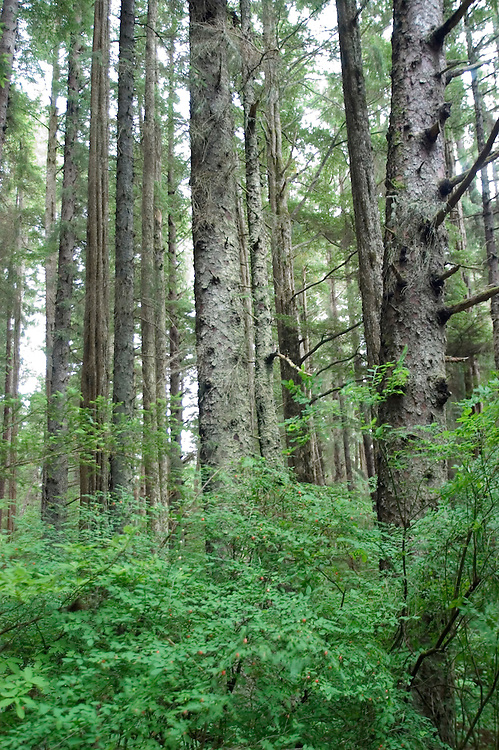 Alaska, Sitka.  Rain forest forest, example of Tongass National Forest, at the Sitka National Historic site..Photo copyright Lee Foster, 510/549-2202, lee@fostertravel.com, www.fostertravel.com.