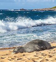 A Hawaiian monk seal rests at Ho'okipa Beach, East Maui; distant surfers dot the waters along the coast.