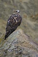 Rough-legged Hawk perched on a rock