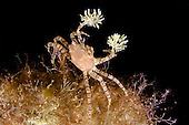 The endemic Hawaiian Pom-Pom Crab (Lybia edmondsoni) is associated with Sea Anemones (Triactis) that it carries around holding them with their claws and using them for defense, waving them in front of the possible aggressor. This is a mutualistic symbiosis, the benefit for the anemone is in being transported around, with more ease in finding food, Hawaii, USA.