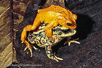 Golden Toad  (Incilius periglenes), male and female in 'amplexus', montane rainforest or cloudforest, Monteverde Reserve, Costa Rica. The Golden Toad has not been seen since 1989, and is believed to be extinct.