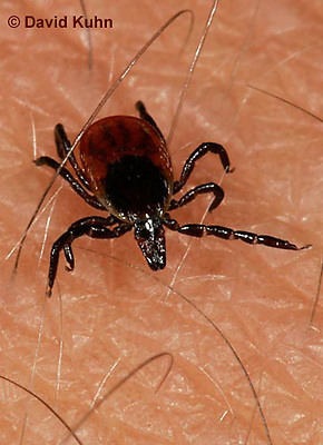 """1022-07xx  Deer Tick - Ixodes scapularis """"on human skin looking for a blood meal"""" © David Kuhn/Dwight Kuhn Photography"""