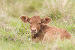 Brazoria County, Damon, Texas; a tan newborn calf laying down while resting in a pasture