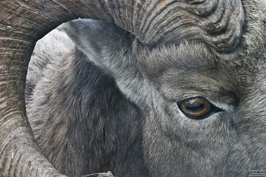 Very close facial photograph of a Bighorn Ram.3072x2048 (original size).
