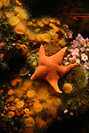 bat star and anemones