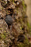 Black charcoal balls and fungi populate the bark of a dying oak tree.