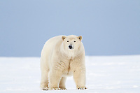 Female polar bear on the snow, Arctic National Wildlife Refuge, Alaska.