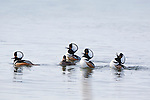 Hooded Merganser Drakes courting a hen at the Lee Metcalf Wildlife Refuge in Montana. They are expanding their crests and chattering as they rise up on the surface of the pond