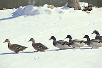 Line of mallard ducks walking across snow towards the water