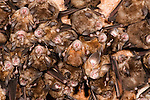 Great Eastern Horseshoe Bats, Rhinolophus luctus, Bandhavgarh National Park, roost hanging in roof of cave, group, several.India....