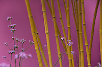 Detail of yellow bamboo stems and purple Verbena bonariensis flowers against a pink rendered wall