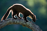 Pine marten (martes martes) backlit in evening light, Scotland