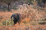 African elephant (Loxodonta africana), Katavi National Park, Tanzania