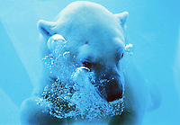 Polar Bear adult underwater  (Thalarctos maritimus)