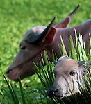 A water buffalo calf (Bubalus bubalis),with it's mother in Xieng Khuang province, Laos.