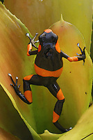 .Red-banded Poison Frog (Dendrobates lehmanni),  adult in a bromeliad, Cauca, Colombia