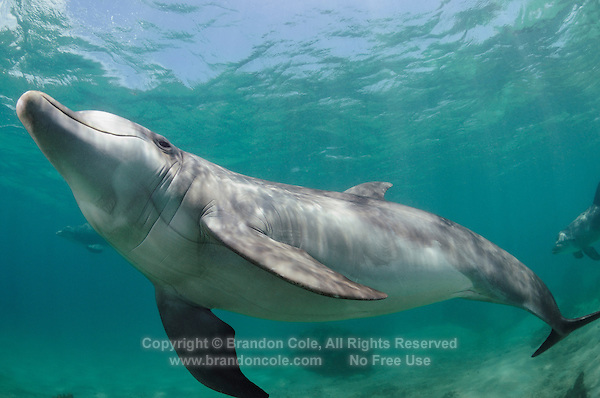 qk76981-D. Bottlenose Dolphin (Tursiops truncatus). Honduras, Caribbean Sea..Photo Copyright © Brandon Cole. All rights reserved worldwide.  www.brandoncole.com..This photo is NOT free. It is NOT in the public domain. This photo is a Copyrighted Work, registered with the US Copyright Office. .Rights to reproduction of photograph granted only upon payment in full of agreed upon licensing fee. Any use of this photo prior to such payment is an infringement of copyright and punishable by fines up to  $150,000 USD...Brandon Cole.MARINE PHOTOGRAPHY.http://www.brandoncole.com.email: brandoncole@msn.com.4917 N. Boeing Rd..Spokane Valley, WA  99206  USA.tel: 509-535-3489
