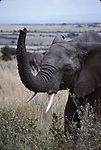 African elephant at the Masai Mara National Park