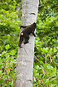 Young crested black macaque climbing palm tree, (Macaca nigra), Indonesia, Sulawesi, endangered species, threatened through loss of habitat and bush meat trade, species only occurs on Sulawesi.