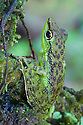Black-spotted Rock Frog (Staurois natator) camouflaged amongst moss. Found in tropical rainforest in the centre of Maliau Basin, Sabah, Borneo.