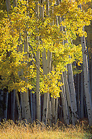 Autumn colors of aspen trees near White Horse Hills in the San Francisco Peaks area of Coconino National Forest near Flagstaff, AGPix_0670.