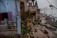 A monkey walk passes a terrace at a house in Varanasi, Uttar Pradesh, India.