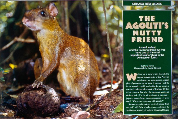 Magazine article about Brazil nuts in southeastern Peru