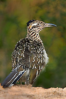 576010016 a wild adult greater roadrunner in starr county texas