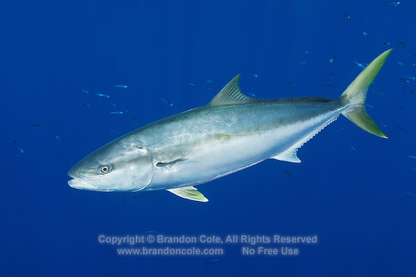TE0514-D. Yellowtail Amberjack (Seriola lalandi), popular gamefish around the world in subtrobical waters, grows to 250cm and almost 100kg. Guadalupe Island, Baja, Mexico, Pacific Ocean.<br /> Photo Copyright &copy; Brandon Cole. All rights reserved worldwide.  www.brandoncole.com