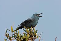 Blaumerle, Männchen auf Sitzwarte singend, Monticola solitarius, Blue Rock Thrush, Merle bleu