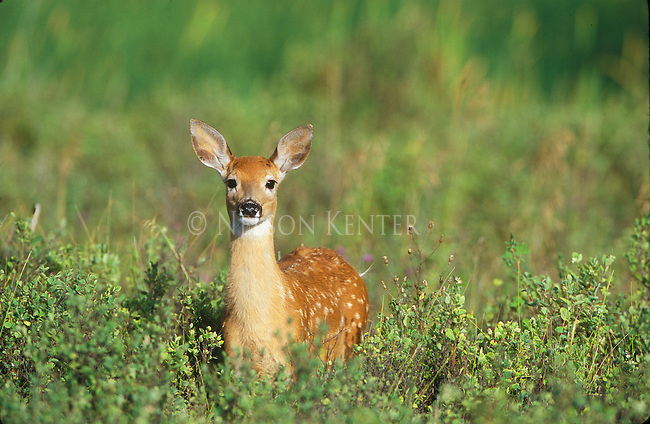 Whitetail fawn in Montana