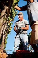 Annual grape harvest at Baglio di Pianetto vineyard, south of Palermo, Sicily, Italy