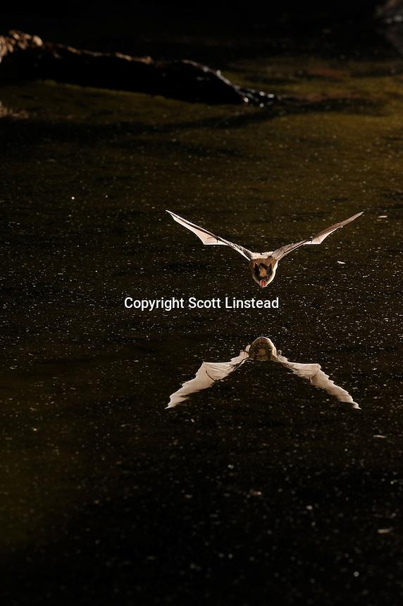 A little brown bat in flight over a pond.