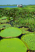 Victoria amazonica (previously known as Victoria regia) giant water lily in lower Amazon River, Para, Brazil: a popular tourist attraction