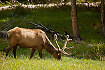 A single bull elk with velvet covered antlers grazes at the edge of the forest.