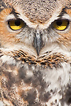 Great Horned Owl, Bubo virginianus, native to North, Central and South America.