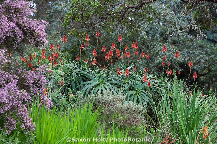 Aloe arborescens, Candelabra or Krantz Aloe, red flowering succulent in South African section of San Francisco Botanical Garden