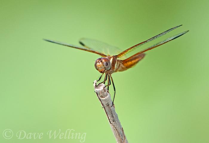 30459008 a male slough amberwing perithemis domitia perches on a dead stick near the naba site along the rio grande river hidalgo county texas united states