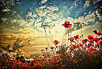Low view of red poppy flowers in a field with setting sun