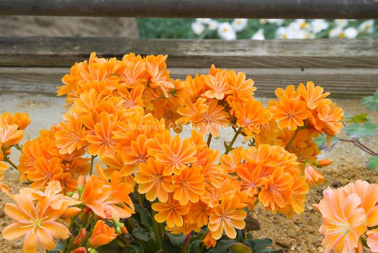 Lewisia cotyledon - orange flowers, native American wildflower, western states