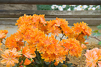 Lewisia cotyledon - orange flowers, native American wildflower, western states