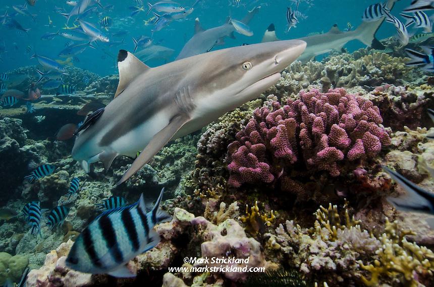 Blacktip Reef Shark, Carcharhinus melanopterus, Beqa Lagoon, Viti Levu, Fiji, Pacific Ocean