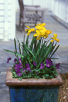 Spring bulbs in pot Narcissus 'Jetfire' in container Division 6 Daffodil, with viola pansies in spring planter
