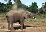 African elephant taking a dirt bath at the Ark in Kenya
