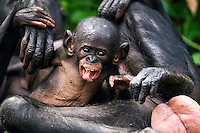 Bonobo female baby aged 5 months playing with her mother (Pan paniscus), Lola Ya Bonobo Sanctuary, Democratic Republic of Congo.