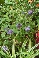 Dwarf Buddleia Buddleja Lo and Behold Blue Chip with Coleus and Chrysanthemum and Carex Treasure Island